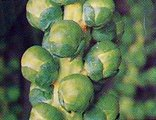 brussels sprouts1