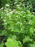 Buckwheat, Fagopyrum esculentum