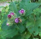 burdock plant (Arctium lappa)