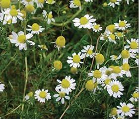 chamomile flowerheads