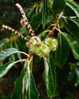chestnut catkins with burr