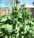collard plant
