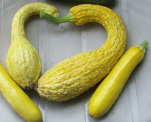 crookneck squash with zucchini