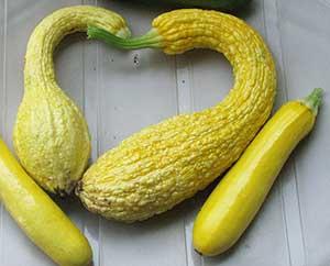 crookneck squash with zucchini