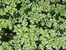 curley-leaf-parsley