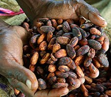 sundried cocoa beans