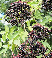 elderberry in clusters