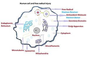 Human cell and mechanism of free radicals injury