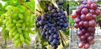 Grapes -fresh