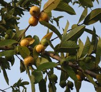guava plant-psidium guajava