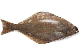 Atlantic halibut fish