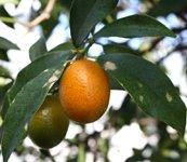 kumquat (Fortunella species)