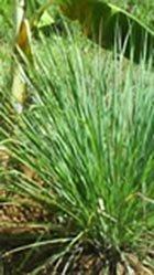 lemongrass herb -cymbopogan
