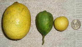 different size lemon and limes