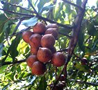 Macadamia foliage with nuts