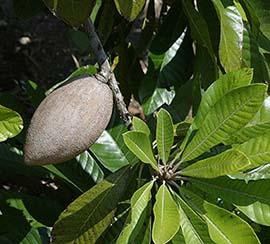 Pouteria sapota plant