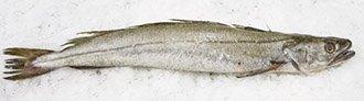 European Hake fish