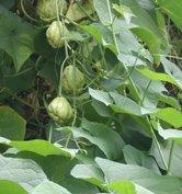 mirliton pears