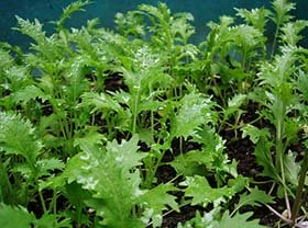 Mizuna or kyona (Japanese mustard)  greens