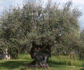 Olive tree-Olea europaea