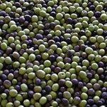 fresh olive fruits