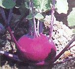purple-kohlrabi