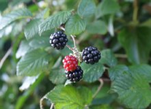 blackberries plant