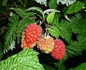 rubus idaeus- raspberry plant