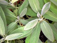 sage herb or garden sage or common sage