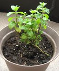 spearmint-as pot herb