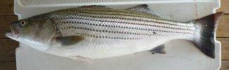 Striped bass-Morone saxatilis