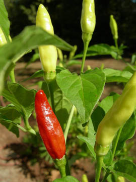 Tabasco pepper- Capsicum frutescens var. tabasco