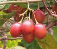 tamarillo-tree tomato