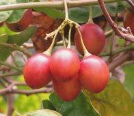 tamarillo-tree tomato
