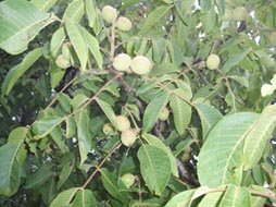walnut-fruits-on-a-tree