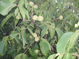 walnut fruits in a tree