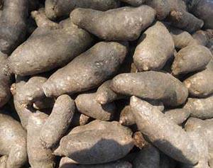 Yam tubers