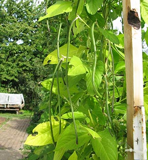 Yard Long Beans Nutrition Facts And Health Benefits